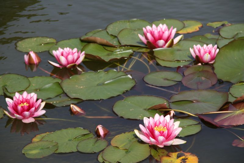Water lilies at CRF